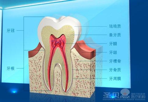 牙齿结构剖析图
